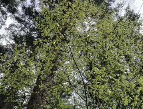 Speyer: Stadtwald erlangt FSC-Zertifizierung zurück