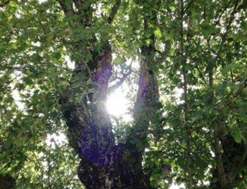 Ludwigshafen: Fällung schadhafter Bäume gestartet