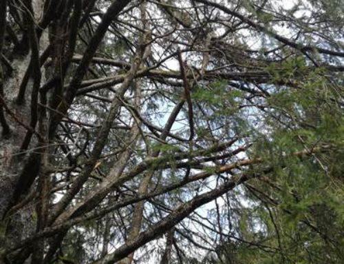 Sinsheim: Holzerntemaßnahmen erfordern Wegsperrung im Stadtwald
