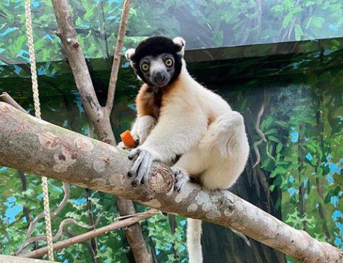 Neuer Kronensifaka im Zoo Heidelberg eingezogen