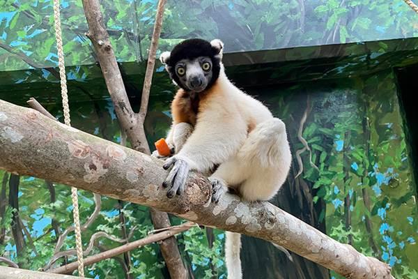 ecoGuide, Zoo Heidelberg, Lemuren, Erhaltungszuchtprogramm