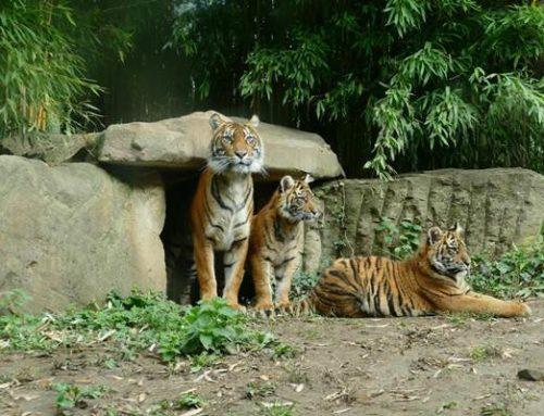 Zoo Heidelberg: Junge Sumatra-Tiger fit und munter