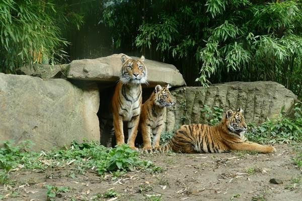 ecoGuide, Zoo Heidelberg, Tiger, Jungtiere